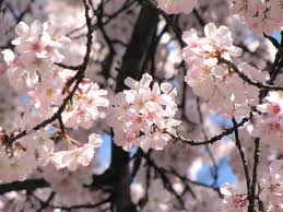 photos of cherry blossoms around the world business insider