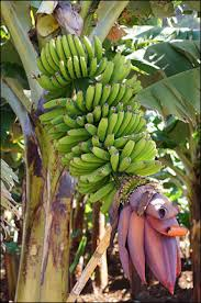 bananas on tree bananas their history cultivation and production facts and details
