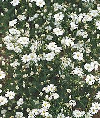Baby Breath Covent Garden White Baby U0027s Breath Seeds And Plants Annual Flower