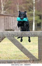 australian shepherd jumping fence dog jumping over fence stock photos u0026 dog jumping over fence stock