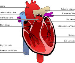 Pictures Of The Anatomy Of The Human Body The Human Heart
