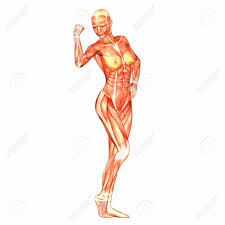 Anatomy Of Women Body Anatomy Of Female Body Human Anatomy Diagram Female Anatomy Human