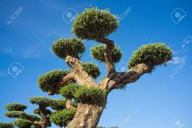 olive tree pruned for decorative purposes stock photo picture