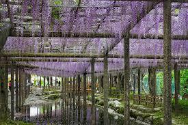 spring in japan wonderful wisteria u0026 billions of exquisite blooms
