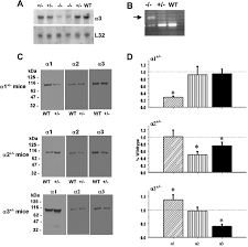 Rational K Hen Deficiency In Na K Atpase α Isoform Genes Alters Spatial Learning