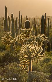 organ pipe cactus n m 61 jpg cacti pipes and deserts