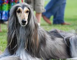 afghan hound and poodle here come the dogs part 5 the dumbest dogs ever we are not