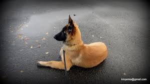 training a belgian sheepdog belgian tervuren puppy tyr practice track on a hard surface and