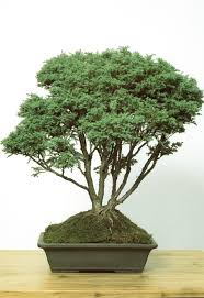 beginning bonsai the gentle art of miniature tree growing larry
