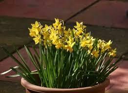 the 25 best planting daffodil bulbs ideas on pinterest daffodil
