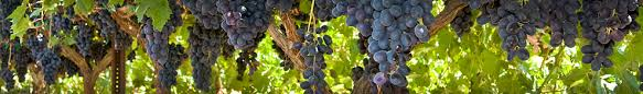 Planting Grapes In Backyard Growing Grapes Table Wine Raisins In Your Backyard The