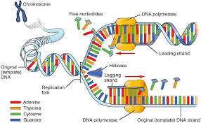 the nucleus and dna replication anatomy and physiology