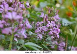 Cleome Flower - spider flower cleome spinosa senorita rosalita summer plant of