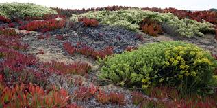 native plants california file funston dune and native plant restoration 1 jpg wikimedia
