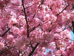 cherry blossom images beautiful cherry blossom hd wallpaper and