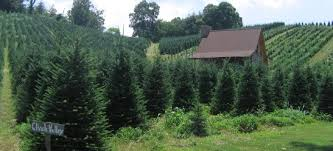 it u0027s christmas tree time locally grown of course asap from