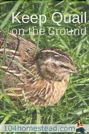 keeping quail on the ground