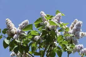 japanese tree lilac plantation and care instructions
