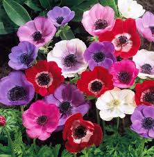 anemone plant anemone plant search flowers flowers and