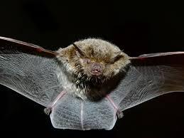 would releasing bats in miami kill zika carrying mosquitoes