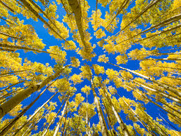 amazing aspen trees in fall mabry campbell photo blog