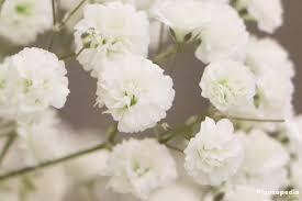 Baby S Breath Flower Baby U0027s Breath Plant Gypsophila How To Grow And Care Plantopedia