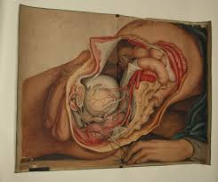 Anatomy Of Human Body Organs Teaching Watercolor Of Pelvic Organs And Arteries Of The Male Body
