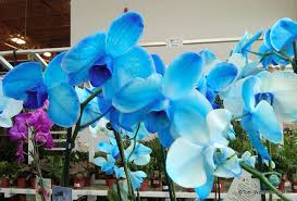 Blue Orchids Blue Monday Blue Orchids Not Purple Not Lavendar But Blue