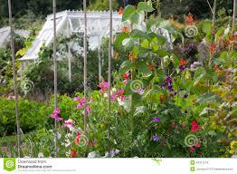 cottage garden sweet peas u0026 runner beans stock photo image 44311274