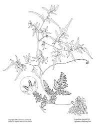 Non Invasive Climbing Plants - lygodium japonicum u2013 uf ifas center for aquatic and invasive plants