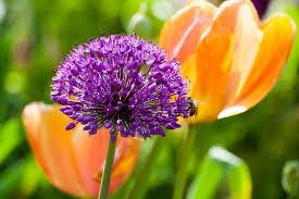 allium flowers allium hollandicum purple sensation ornamental