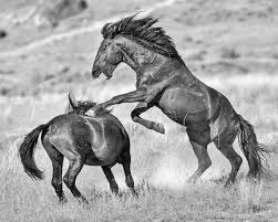 black mustang horse photography of wild horses onaqui herd photography of a unique