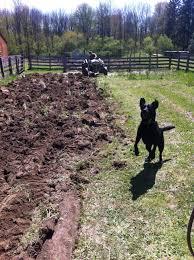 dog barn black lab farm dog two barn farm