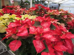 success with poinsettias weidners gardens