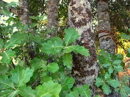 california native plants list trees and shrubs sierra foothill garden