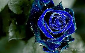blue roses for sale hot whole sale blue seeds cheap seeds charming flowers