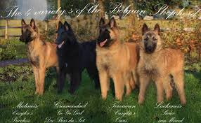belgian sheepdog brown belgian shepherd toujour