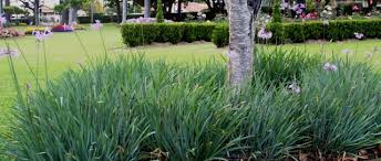 buy tulbaghia violacea society garlic plants 6 for 36
