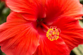 the hibiscus flower it s meanings and symbolism power