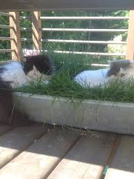 grass for cats indoor grass decorations inspirations