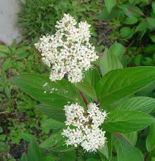 bc native plants meet 12 species of dogwood trees cornus genus