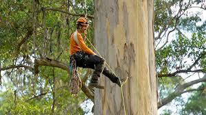 video the giant karri trees of western australia australian
