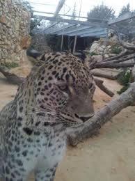 Tisch Family Zoological Gardens - leopard picture of tisch family zoological gardens biblical zoo