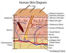 label the skin anatomy diagram human skin anatomy worksheet