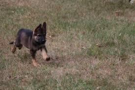 belgian shepherd for sale in india sable german shepherd puppies for sale 2017 litters hayes haus