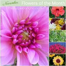 flowers in november november flowers of the month the purple poncho