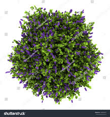 top view lilac flowers bush isolated stock illustration 104806283