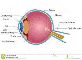 Anatomy Of A Cats Eye Eye Anatomy Stock Photography Image 19117302