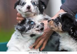 australian shepherd puppies australian shepherd puppies stock photos u0026 australian shepherd