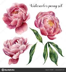 peony flowers watercolor peony set vintage floral elements with peony flowers